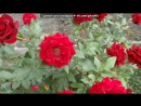 «Мои цветы» под музыку Ирина Круг и Виктор Королев   - Алая роза  . Picrolla