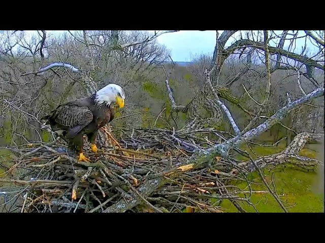 Arconic Eagles Iowa 11 18 16 Beautiful 4 yr old Sub adult spends time at new nest