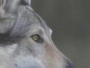 Tribute to Czechoslovakian Wolfdog