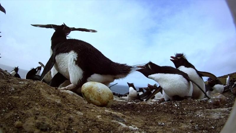 BBC. Пингвины. Шпион в стае 1-я серия. Путешествие (Penguins - Spy In The Huddle) 2013