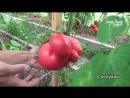 Сорта томатов для теплицы Сайт Садовый мир YouTube 360p