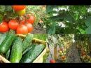Совместное выращивание томатов и огруцов в одной теплице