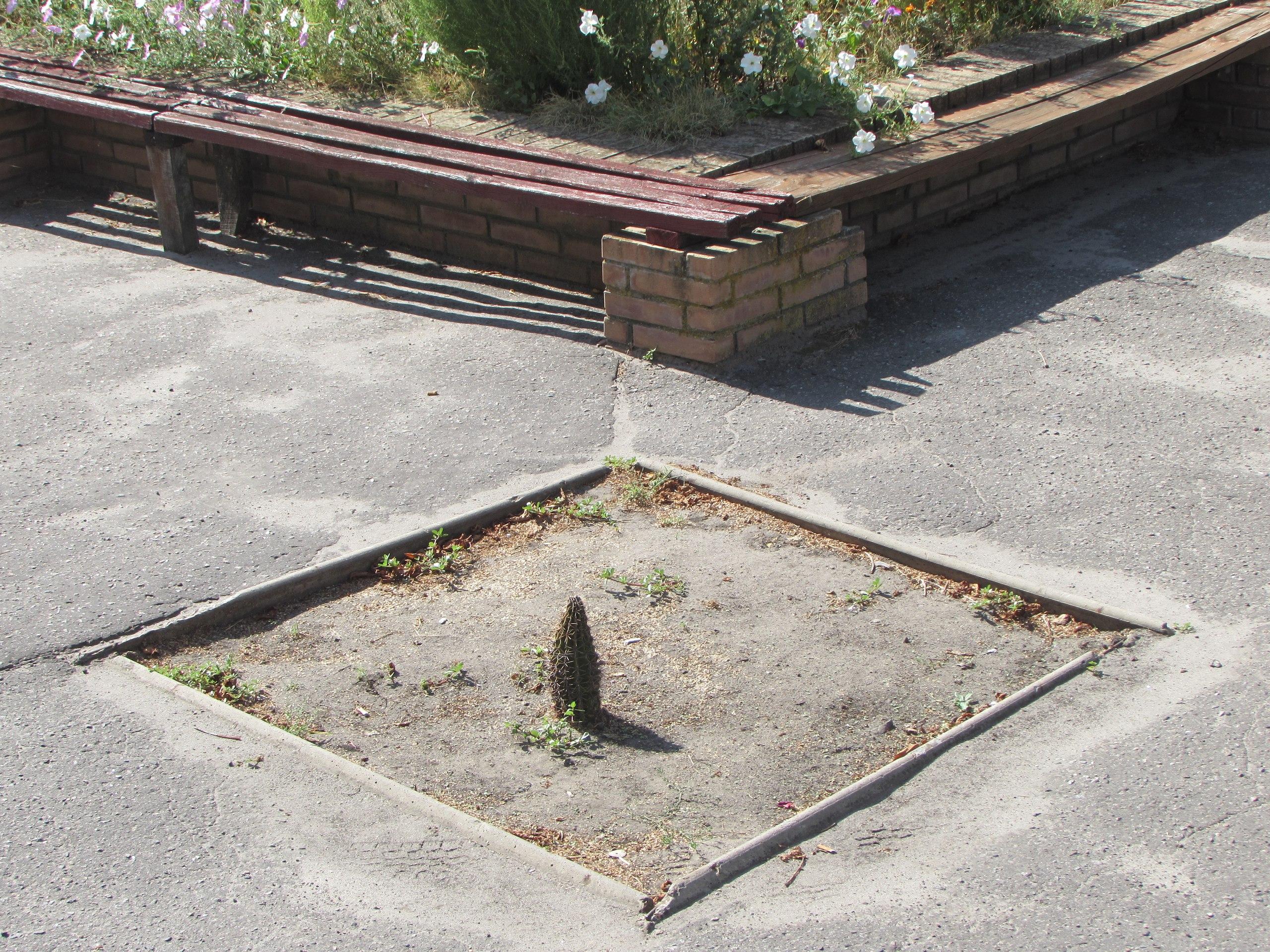 Кактус біля Білокуракинської селищної ради