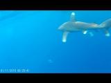 Встреча с белоперой акулой (лангиманус) на просторах Красного моря. Главное, сохранять спокойствие)