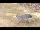 Патагонская мара. Самые необычные животные в мире. Интернет-портал для владельцев домашних животных zoostores