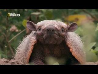 Дикая Бразилия. Пир гигантского муравьеда (2 серия)