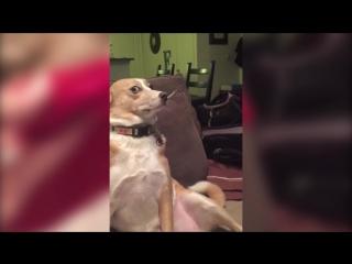 Виноватый пес не хочет признавать свою вину