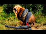 Анаконда сожрала льва 18+! Most Amazing Wild Animal Attacks | lion, tiger, anaconda, deer, Crocodile