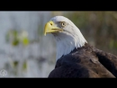 Природа 1080HD Хищные птицы _ Nature 1080HD Birds of prey