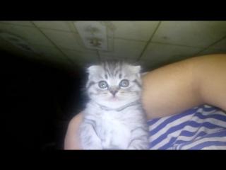 """шотландский котенок, вислоухий мальчик. Помет """"б/B"""""""