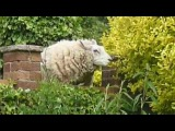 Sheep Escaped eating our Garden  by  Yasmin