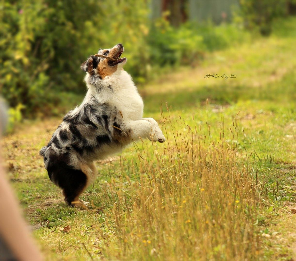 "Австралийские овчарки питомника ""Из дома Королёвой"" - Страница 4 6F9NdWHc3IQ"