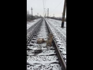 Пёс двое суток не бросал раненую подругу на железнодорожных путях 3