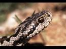 Самые опасные змеи Австрии- Austria's most dangerous snakes