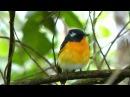 Mugimaki flycatcher Таёжная мухоловка Ficedula mugimaki