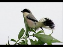 Lesser Grey Shrike / Чернолобый сорокопут / Lanius minor