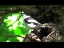 Collared Flycatcher Мухоловка белошейка Ficedula albicollis