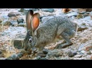 Black tailed jackrabbit Чернохвостый заяц Lepus californicus