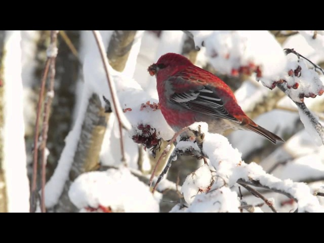 Pine grosbeak / Щур / Pinicola enucleator