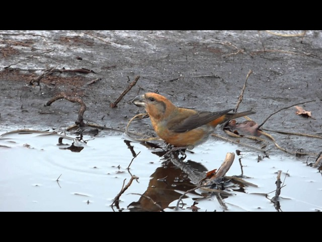 Parrot crossbill / Клест-сосновик / Loxia pytyopsittacus