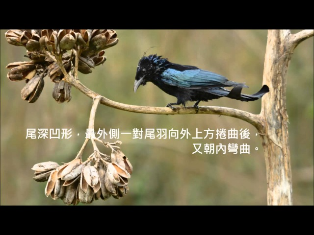 Hair-crested Drongo / Лирохвостый дронго / Dicrurus hottentottus