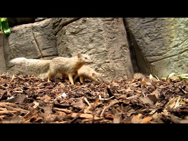 Narrow-striped mongoose / Линейчатый мунго / Mungotictis decemlineata