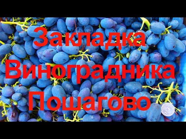 Закладка виноградника 2008