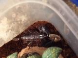 скорпион кормление