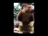 Детёныш кенгуру-древолаз