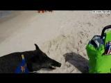 Кабан вылезает из моря и атакует людей на пляже, Польша / Karwia - dzik wyszedł z morza i zaatakował ludzi