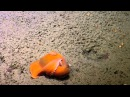 Best of 2015: Adorable Dumbo Octopuses | Nautilus Live