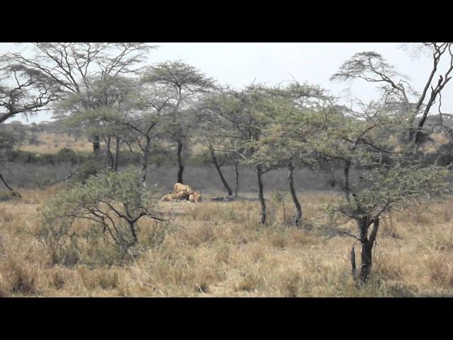 Крокодил отбирает добычу у львов