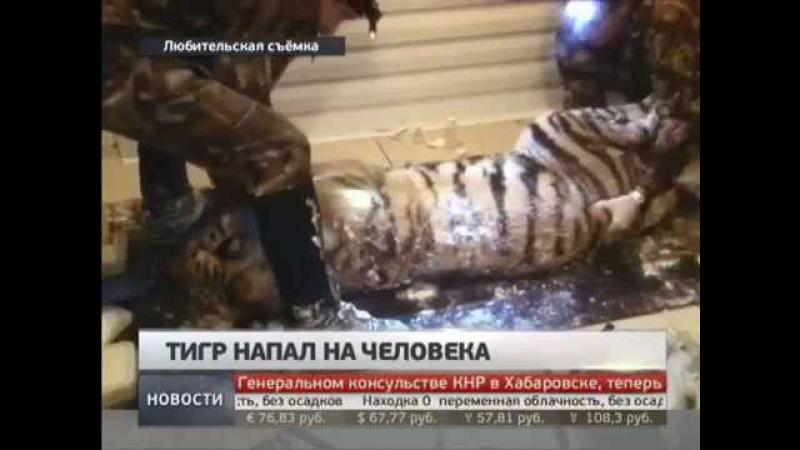 Тигр напал на человека. Новости. GuberniaTV