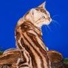 Питомник бенгальских кошек NOMINATION*RU