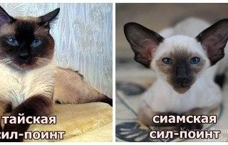 кошка тайская сиамская фото
