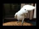 Попугай танцует под клип Гангам Стайл!