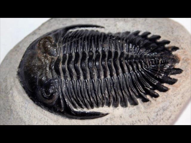 Трилобиты. Свидетели эволюции (рассказывают палеонтологи Елена Наймарк и Андрей Иванцов)