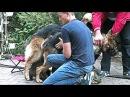 Вязка Собак. К Бучу приехала Невеста. Dog mating. German Shepherds. Одесса.
