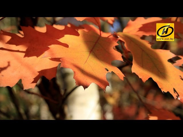 Красный дуб вытесняет другие деревья в Беловежской пуще