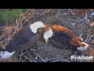 SW Fla eagles 12 31 16 Congrats Harriet M15 on 1st hatch of this season
