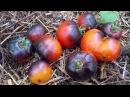 Сорт томата Красный уголь