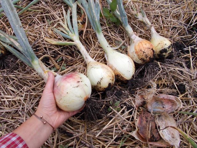 Урожай лука из рассады Сорта Эксибишен Ялтинский Фирензе Халцедон Любчик
