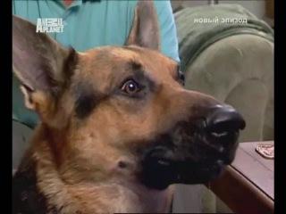 Немецкая овчарка Пепси. Переводчик с собачьего.