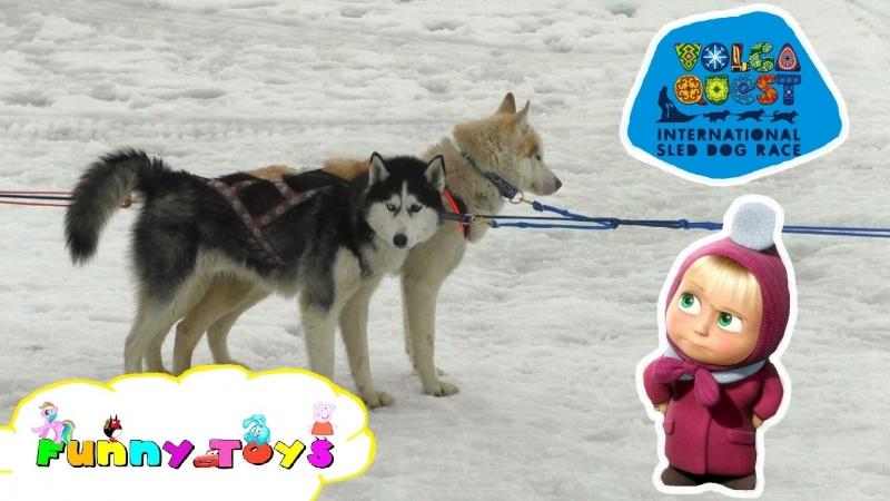 VLOG Baby - Volga Quest 2016. Sled Dog Race. Гонка на собачьих упряжках