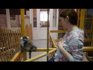 Кошачий лемур катта в контактном зоопарке на Тушинской