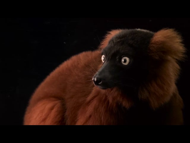Рыжий вари / Red ruffed lemur (Varecia rubra) at the Miller Park Zoo.
