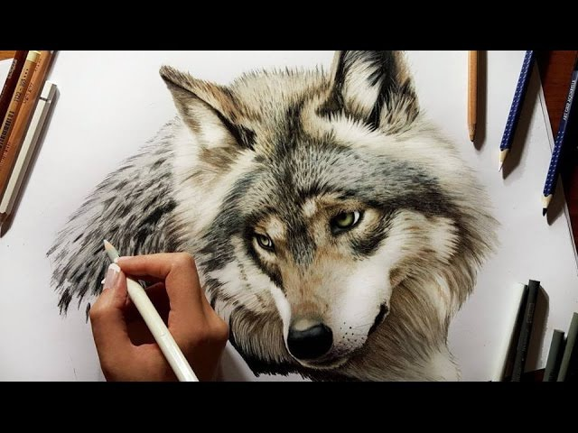 Colored Pencil Drawing: Grey Wolf - Speed Draw | Jasmina Susak