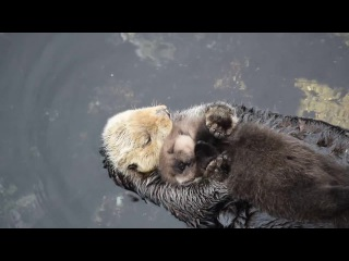 one day old sea otter trying to sleep on mom