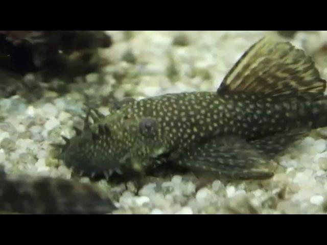 Анциструс обыкновенный Ancistrus dolichopterus