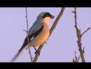 Lesser Grey Shrike. Сорокопут чернолобый. Lanius minor.